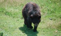 Blackbear2